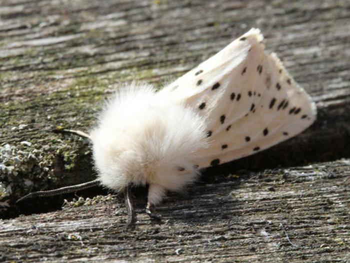 how to deal with ermine moth