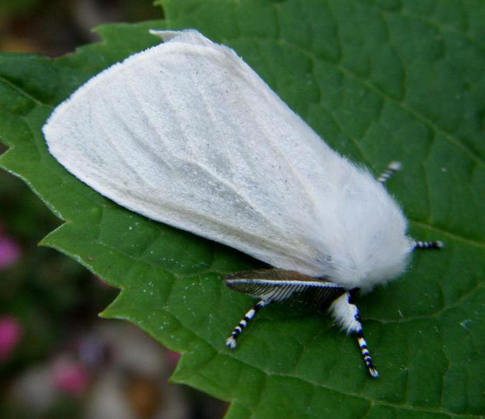 apple ermine mole