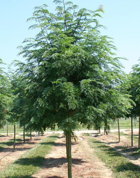 как сделать штамбовое дерево своими руками