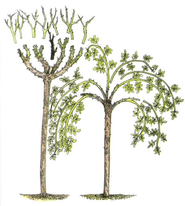 штамбовое малиновое дерево