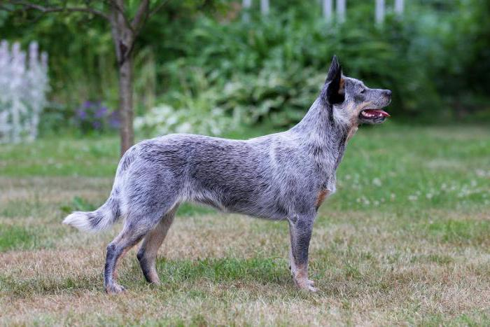 Australian herding dog breed description
