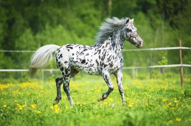 Лошадь аппалуза описание и характеристики породы особенности содержания