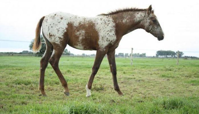 breeding appaloosa horses