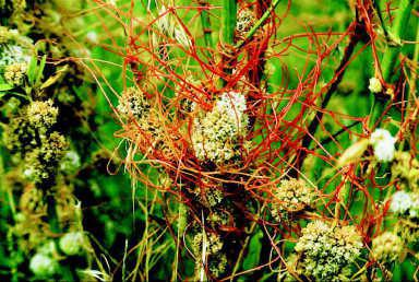 dodder how to fight