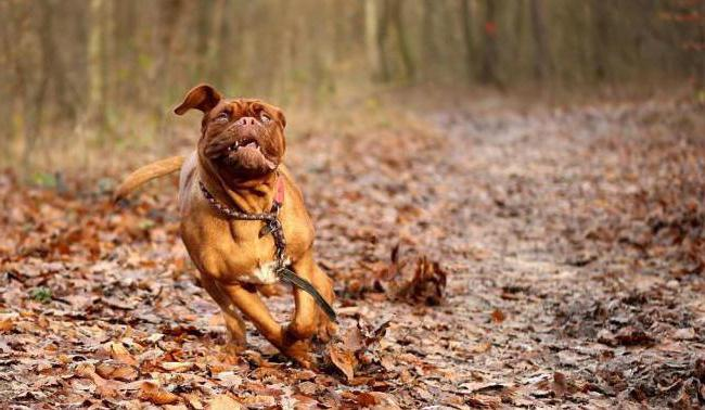how much is the French mastiff description