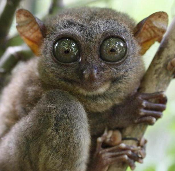 Маленькое животное с большими глазами