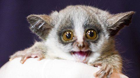 Animal with big eyes lemur