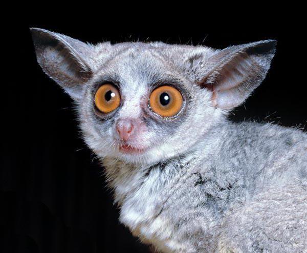 Животное с большими глазами и ушами