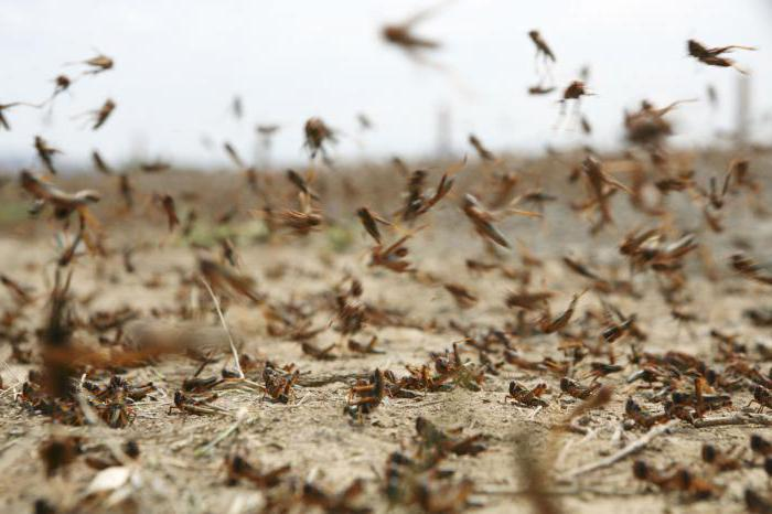 locust outbreak in the Stavropol region