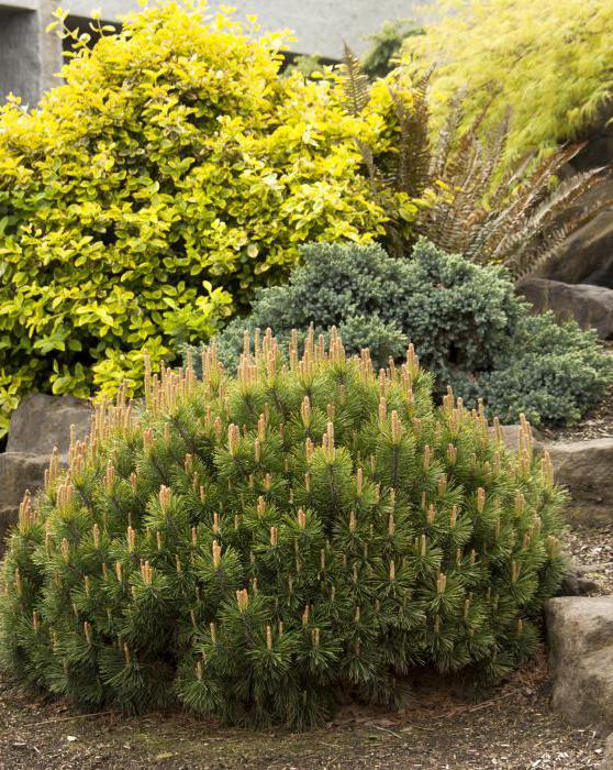 mountain pine pumilio growing features