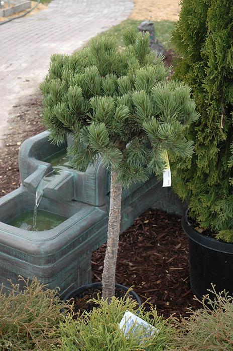 planting and caring for mountain pumilio pine