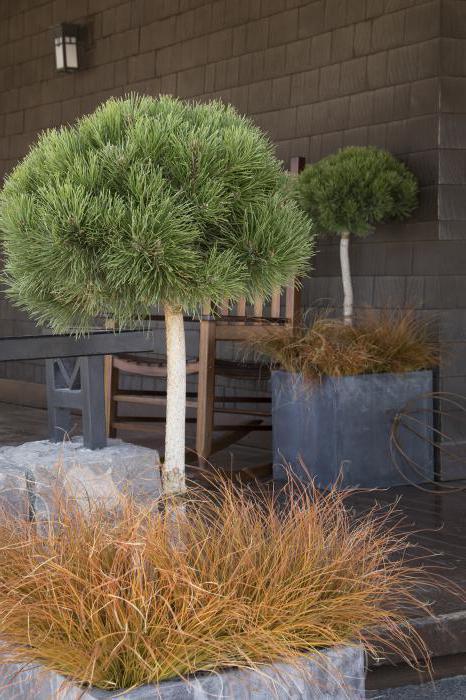 mountain pine pumilio in landscape design