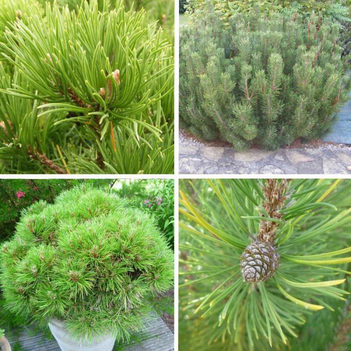 mountain pine mugo pumilio planting and care