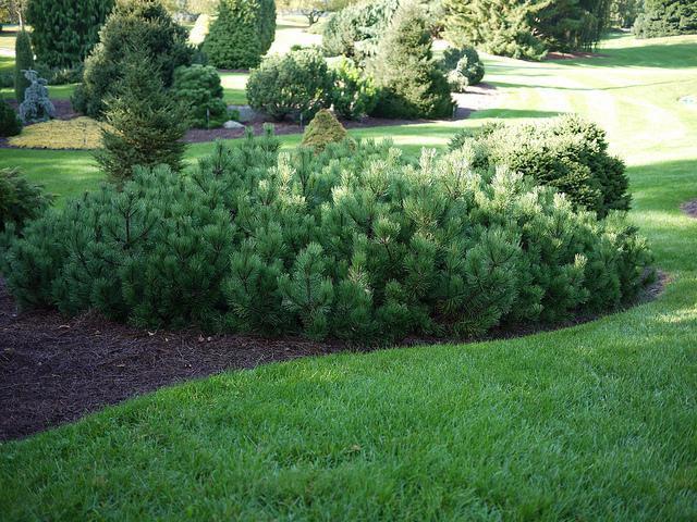 mountain pine mugo pumilio planting