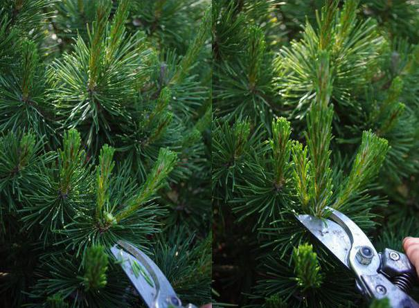 pine mountain planting and care and use