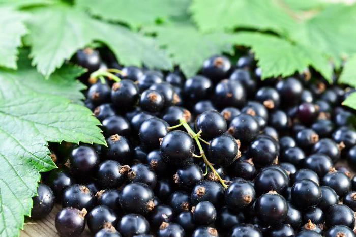 benefit and harm of black currant