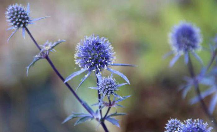 Синеголовник плосколистный: описание, лечебные свойства и особенности