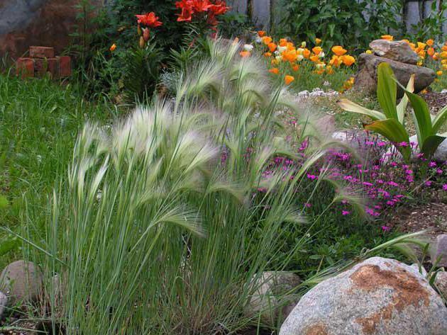 Barley maned photo