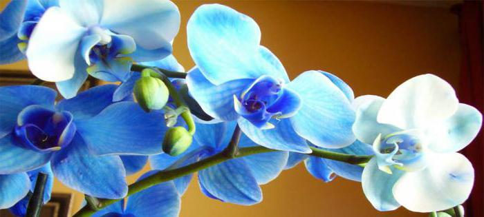 Blue Orchid Flower Meaning