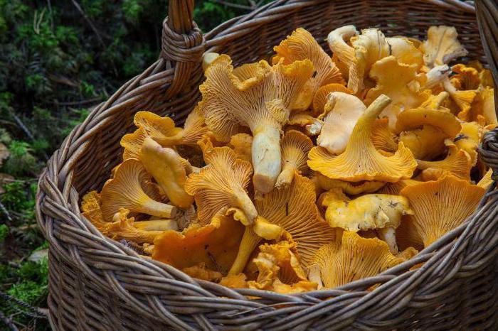лисички грибы лечебные свойства