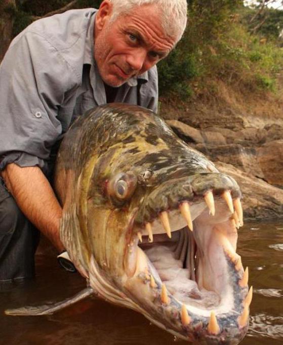 тигровая рыба голиаф одна из самых страшных рыб
