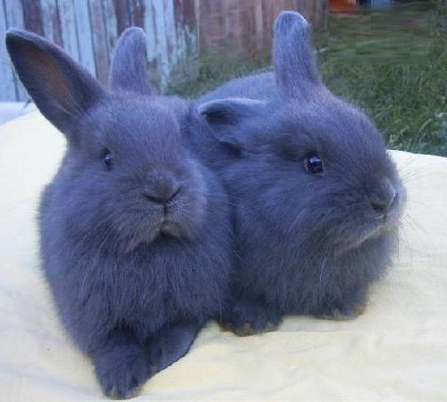 венский голубой кролик характеристика фото