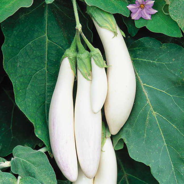 white eggplant recipes