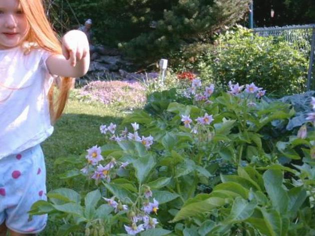 tincture of potato flowers