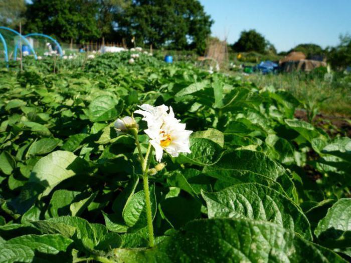 papillomas potato flowers