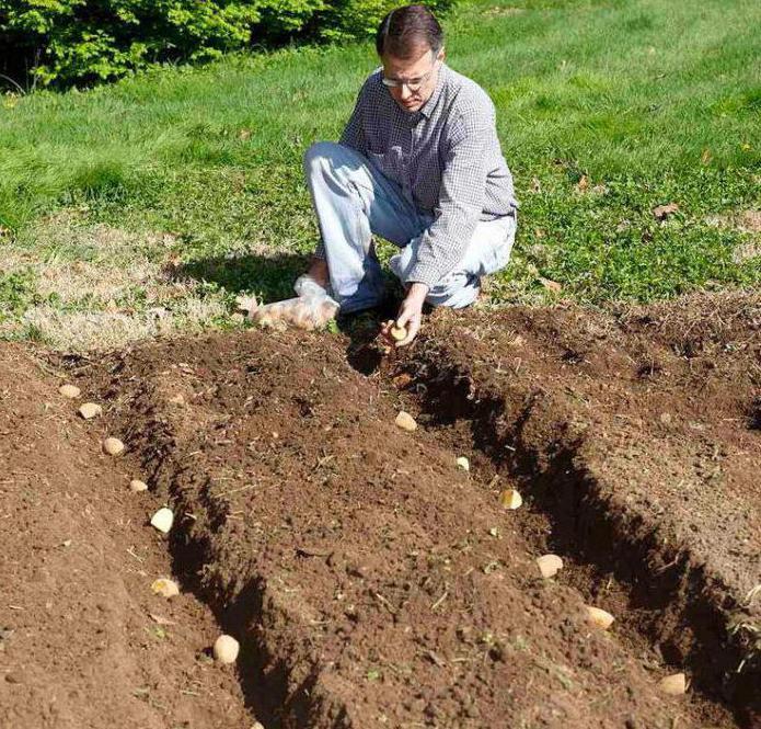 командор для обработки клубней картофеля