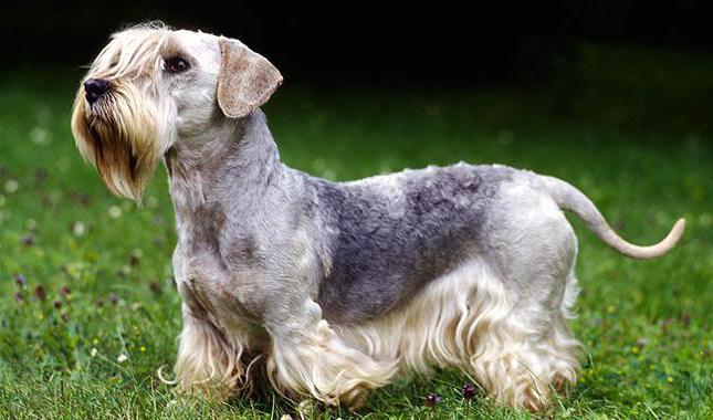 bohemian terrier
