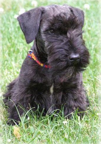 Czech terrier character