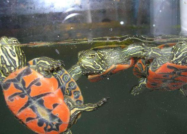 Содержание водяных красноухих черепах в домашних условиях
