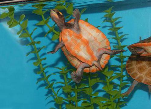как обустроить террариум для красноухой черепахи