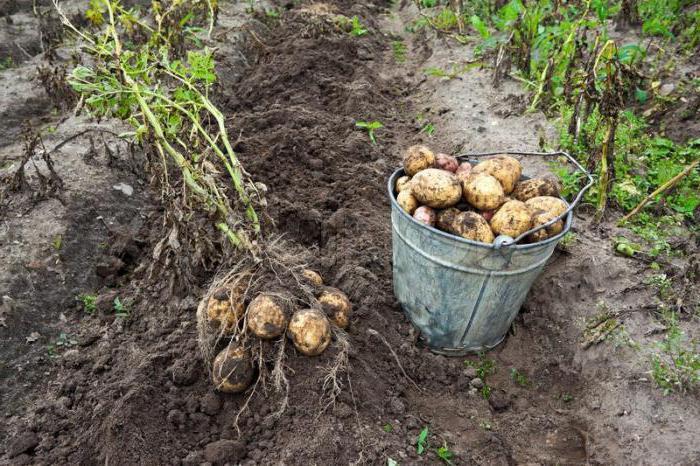 Как сажают картошку в подмосковье 104