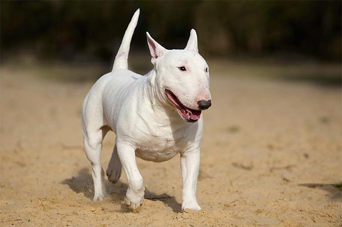 breed of dog bull terrier