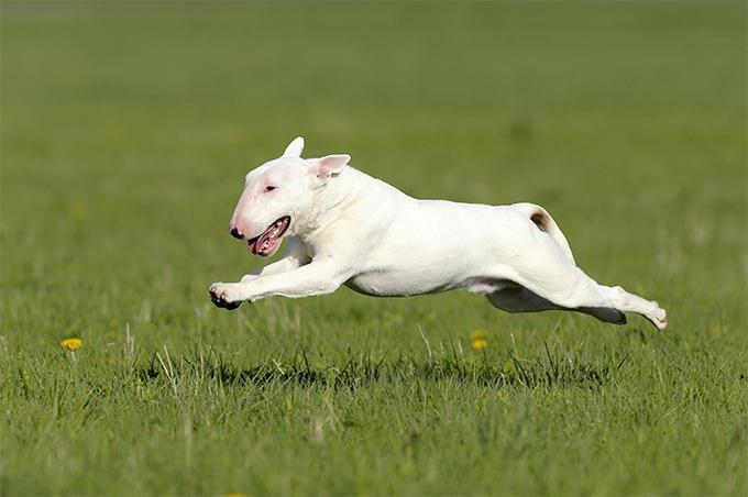 dog breed bull terrier photo