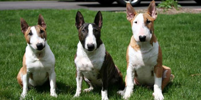photo from dog show bull terrier
