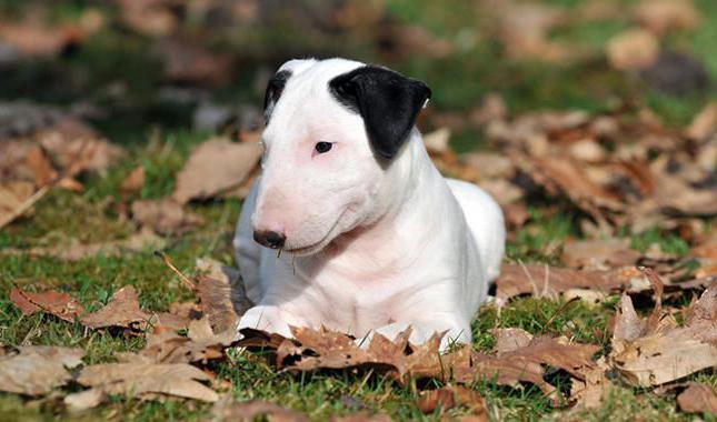 bull terrier weight of an adult dog