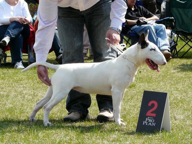 what a bull terrier dog looks like