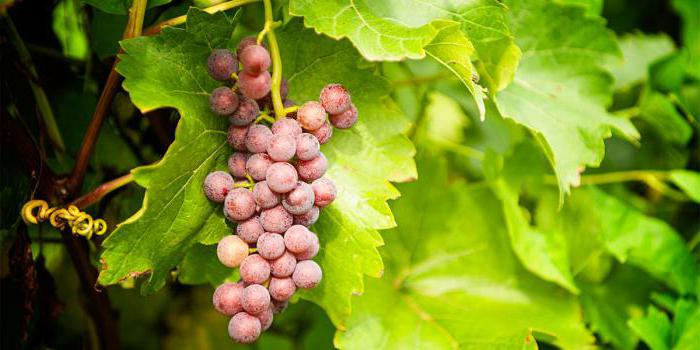 how to cover grapes for winter