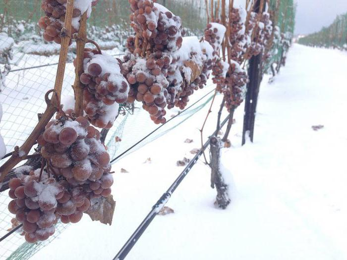 how to cover the grapes for the winter in the suburbs