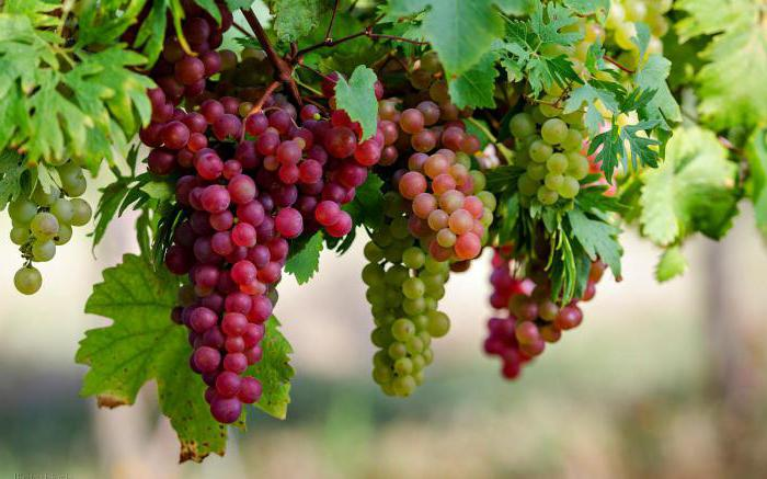how to cover grapes for the winter