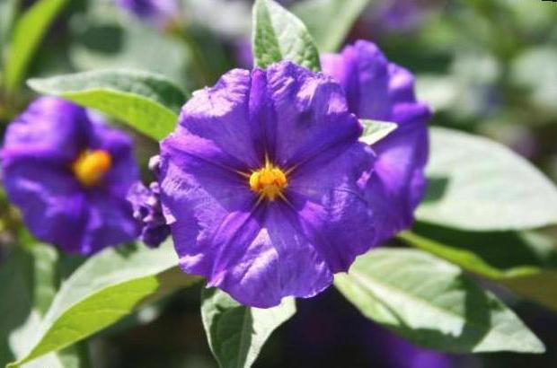 цветы картофеля лечебные свойства как готовить настой