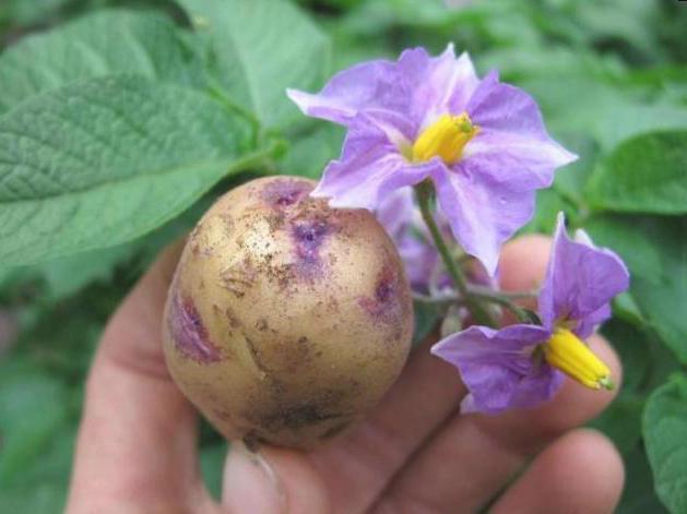 Настойка картофельных цветков на водке применение