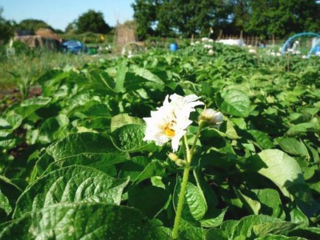 Цветы картофеля рт суставов бандаж для лучезапястный сустав