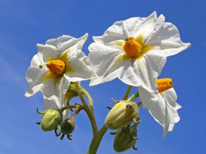 цветы картофеля лечебные свойства при ожогах