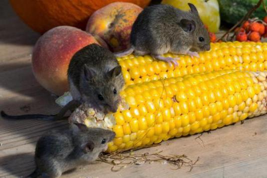 Как избавиться от мышей в частном доме? Способы борьбы с мышами