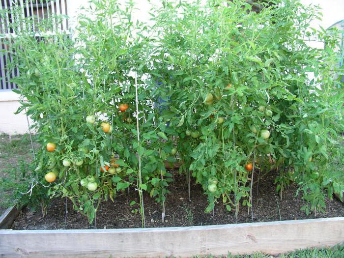 Tomatoes Hundred pounds description