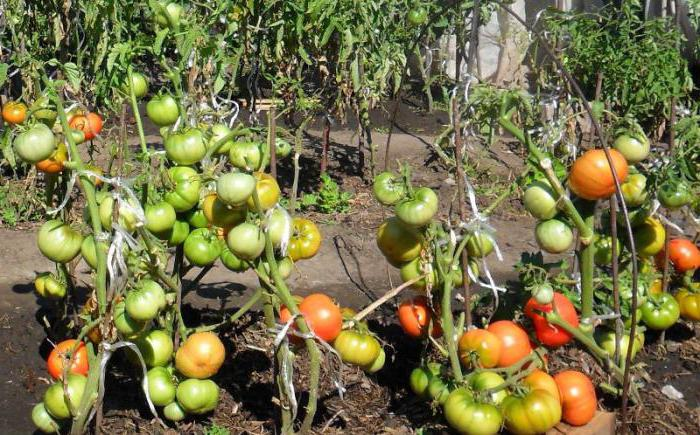 Tomato Hundred pounds reviews photos yield